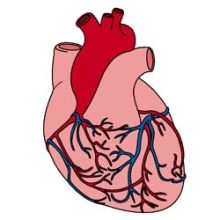 Your heart is a muscle - it works 24 hours a day!
