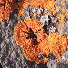Arctic lichen - BlanX toothpaste contains an extract